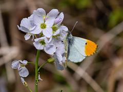 orange-tip butterfly 157a_154 (Baffledmostly) Tags: croomepark insects nationaltrust cuckooflower gender male orangetip