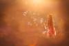 The magic of sunset (Willie Kers Gwynn) Tags: apeldoorn gelderland nederland photographer williekers daglicht fotograaf fotografie naturallight naturallightchildphotographer natuurlijklicht portraitphotographer portraiture portretfotograaf workshopphotograpy sunset canon 5dmkiii 85l bokeh childhood bubbles light sunflare haze red orange happiness backgroundblur zonsondergang netherlands earth earthday nature landscape sky