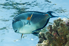 Sohal Surgeonfish - Acanthurus sohal (Jim Greenfield) Tags: egypt furyshoals redsea