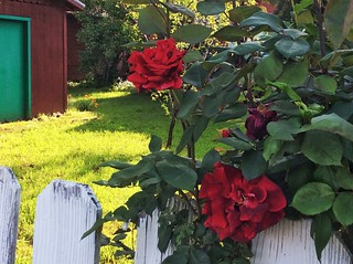 Antique Roses on a Fence