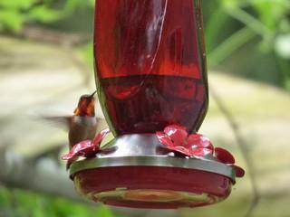 Male Anna's hummingbird at feeder
