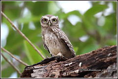 7841 - spotted owlet (chandrasekaran a 50 lakhs views Thanks to all.) Tags: spottedowlet owlet birds nature india chennai canoneos6dmarkii tamronsp150600mmg2