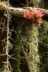 pink tillandsia _ 02 (meg99az) Tags: tillandsia bromeliad epiphyte spanishmoss tillandsiausneoides charlotte northcarolina danielstowebotanicalgarden