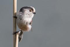 Curiosity (Andrew_Leggett) Tags: longtailedtit aegithaloscaudatus bird wildlife closeup close curious curiosity watchful seeing eye tiny nature natural