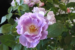 An unusual colour rose (Heathermary44) Tags: rose unusualcolour lilac blooming nature naturephotography garden gardening nursery