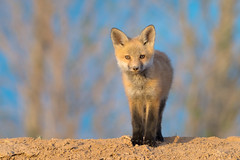 Hello There (Amy Hudechek Photography) Tags: fox kit wildlife nature baby young spring amyhudechek nikond500 nikon600mmf4