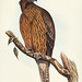 Aquila Morphnoides (Little Australian Eagle) Illustrated by Elizabeth Gould (1804–1841) for John Gould's (1804-1881) Birds of Australia (1972 Edition, 8 volumes). One of the most celebrated publications on Ornithology worldwide, Birds of Australia introdu