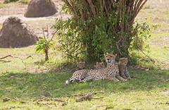 Cheetah with cubs (WhiteEye2) Tags: cheetah cubs cheetahcubs nature wildlife mother africa masaimara bigcats kenya cute adorable sweet