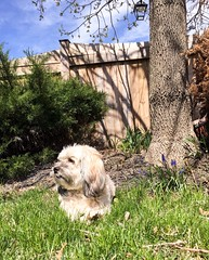 Content. (PEEJ0E) Tags: rescue sunbathing yard bush tree fence grass sun spring mutt maltese rusty