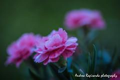 Garofani di maggio (Andrea Rapisarda) Tags: garofani maggio primavera colors colori nikon d750 macro bokeh beauty garden giardino ©allrightsreserved fiori flowers natura nature 105mm