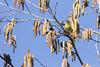 20180210_Vincennes_Tarin des aulnes (thadeus72) Tags: aves birds carduelisspinus eurasiansiskin fringillidae fringillidés oiseaux passériformes tarindesaulnes