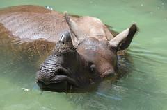 DSC_7898 (Andrew Nakamura) Tags: mammal rhinoceros rhino indianrhino greateronehornedrhinoceros water swimming inthepool