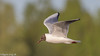 Black Headed Gull (Danny Gibson) Tags: blackheadedgull gull gulls