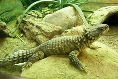 Brookfield Zoo (Tiger_Jack) Tags: brookfieldzoo zoo zoos zoosofnorthamerica itsazoooutthere reptile reptiles