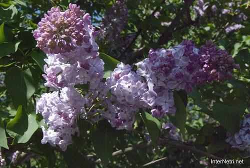 Сад бузків Ботанічний сад імені Гришка InterNetri  Ukraine 18