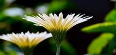 Good night 😊 (SHAN DUTTA) Tags: gerbera whiteflower flora flower nikon fantasticflower macromademoiselle