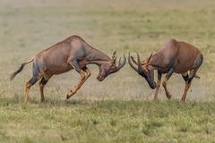 Boys will be boys.... (Explore 18 May 2018) (Duncan Blackburn) Tags: topi antelope mammal kenya masaimara nikon nature wildlife ngc npc