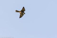 9Q6A3548 (2) (Alinbidford) Tags: alancurtis alinbidford birdofprey brandonmarsh hobby nature wildbirds wildlife