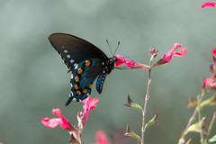Pipevine swallowtail (jim_mcculloch) Tags: lepidoptera butterflies