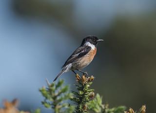 Stonechat (male) 20-05-2018-6986