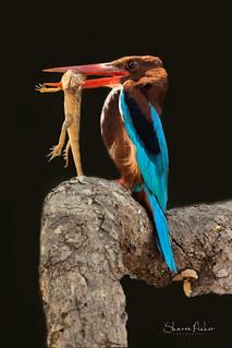 White-Throated Kingfisher (India)