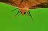picture-winged leaf moth Striglina cinnamomea Striglininae Thyrididae Airlie Beach rainforest P1240029 (Steve & Alison1) Tags: picturewinged leaf moth striglina cinnamomea striglininae thyrididae airlie beach rainforest