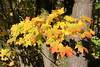Autumn is fun (Ievinya) Tags: maple kļava leafs leaves autumn rudens yellowleaves yellowleafs tree koks ulbroka stopiņi stopini