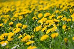Des fleurs à notre porte (Croc'odile67) Tags: nikon d3300 sigma contemporary 18200dcoshsmc paysage landscape fleurs flowers jaune yellow
