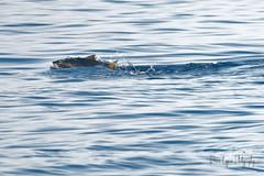 Thon rouge en chasse (denis.loyaux) Tags: thonrouge chasse découverteduvivant