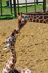 Giraffe (nickym6274) Tags: whipsnade zslwhipsnadezoo dunstable uk giraffe giraffacamelopardalisreticulata cuddle