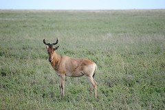 Конгони, Alcelaphus buselaphus cokii, Coke's Hartebeest, Kongoni (Oleg Nomad) Tags: конгони alcelaphusbuselaphuscokii cokeshartebeest kongoni африка танзания серенгети животные природа сафари africa tanzania serengeti nature animals safari travel