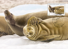 Crabeater Seals - Family group (helent.postcards) Tags: postcards maxicards