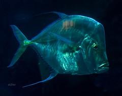 She is so transparent . . . (Dr. Farnsworth) Tags: sheddaquarium fish transparent visible tank chicago il illinois spring april2018