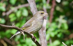 Greenfinch - Taken at Titchmarsh Nature Reserve, Aldwincle, Northants. UK (Ian J Hicks) Tags: