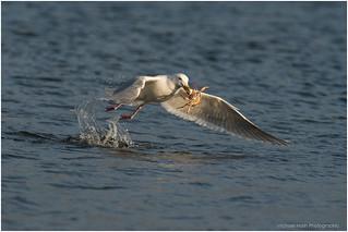 Gull Catches Crab