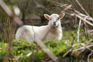 The lamb of Corris