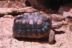 Wonders of Wildlfie National Museum and Aquarium (Adventurer Dustin Holmes) Tags: turtle 2018 animal wondersofwildlife reptile reptiles testudines animalia chelonii