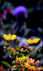Vivoin (Sarthe) (gondardphilippe) Tags: vivoin sarthe maine paysdelaloire fleurs flowers nature campagne rural ruralité jardin garden