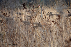 Sandhill Crane dreams (LC10S) Tags: deer grove east palatine il sandhill crane family colts spring prairie bike path preserve