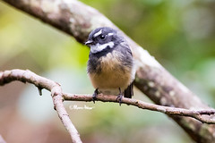 Cute, Cute, Cute (marcpeterphotography) Tags: grey fantail fantails bird birds birdphotography birdphotographer wildlife wildlifephotography marcpeterphotography marcpeter marcpeterkooistra australia queensland conondale