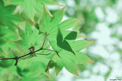 Despite (gusdiaz) Tags: spring primavera leaves leaf japanese maple canon canonphotography nature naturephotography bokeh depthoffield colorful pastels colores pasteles green verde hojas bosque naturaleza hermoso vsco vscocam