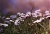 ¿Será o no será? (Momentos que no se buscan...) Tags: primavera spring daisies daisy margaritas campodemargaritas flores flowers color colores 2018 canon canon450d 50mm 50mmlens