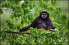 Weißhandgibbon (guenterleitenbauer) Tags: 2017 animal animals günter leitenbauer schmiding schmieding tier tiere tierpark zoo animales wildpark affe monkey gibbon weishandgibbon weisshandgibbon