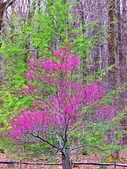 Redbud Tree  IMG_7785 (PRS North Star) Tags: floweringtrees blossoms blooms trees interestingtrees redbud redbudtrees