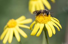 20180502_IMG_8481 (Raúl_M_M) Tags: macro macrodreams 100mm canon6d flores fly flower