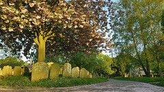 Dereham Churchyard Cherry Blossom (_ _steven.kemp_ _) Tags: dereham churchyard cherry blossom tree