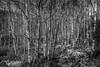 """Into the forest"" (Terje Helberg Photography) Tags: bw flowersplants birch blackandwhite bnw contrast landscape landskap mono monochrome natur nature path spring track tree trees treescape"