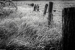 spring.fence (fhenkemeyer) Tags: niederrhein niksilverefexpro2 hff fence spring gras bw meadow fencefriday