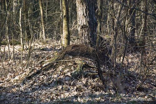 Волинський ліс Мурашник InterNetri Ukraine 0313864987