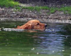 GOLDEN RETRIEVER (Gary K. Mann) Tags: golden retriever dog swimming river thames south oxfordshire pet animal mammal